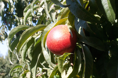 August Fire Nectarine