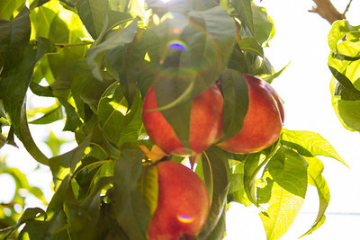August Pearl Nectarine