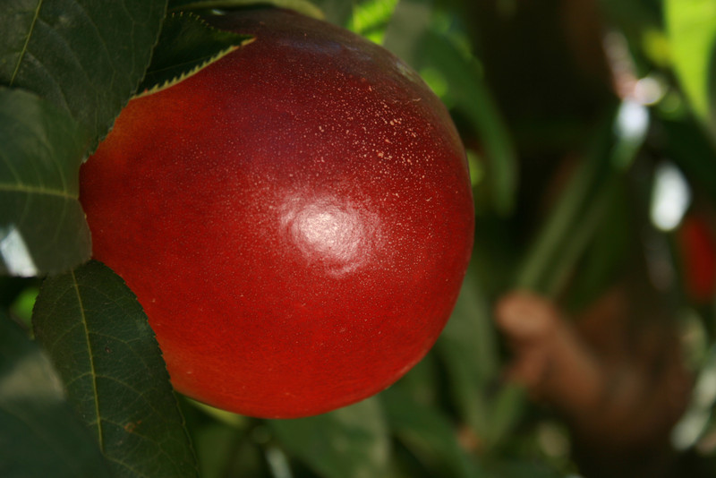 Honey Royale Nectarine