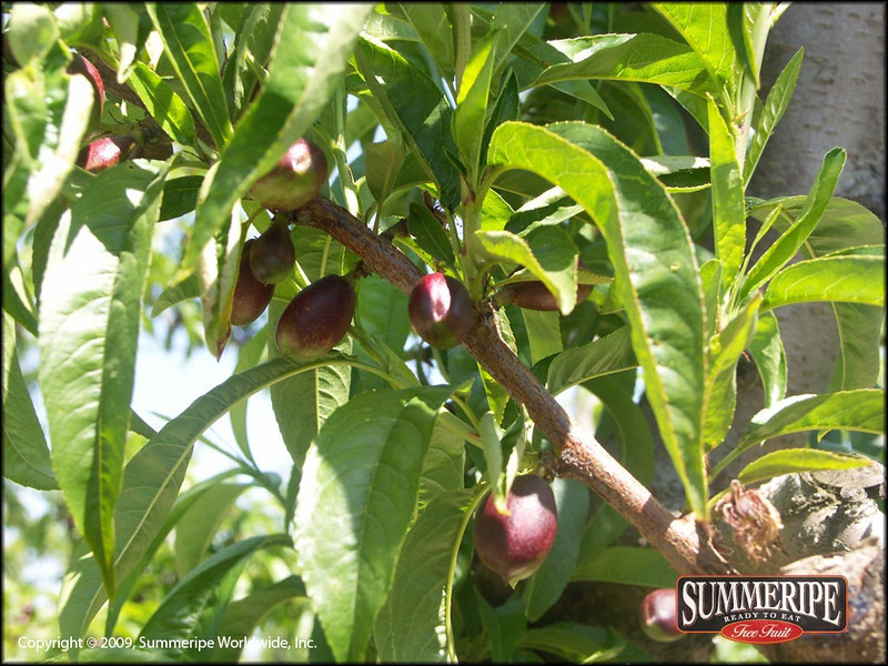 Red Royal Nectarine
