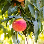 Autumn Flame Yellow Peach