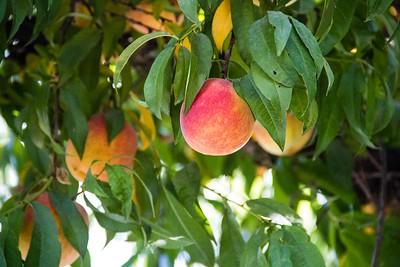 Autumn Flame Yellow Peach
