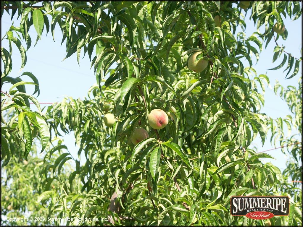 Snow Angel White Peach