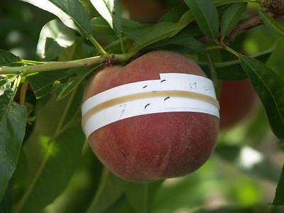 Spring Flame Peach