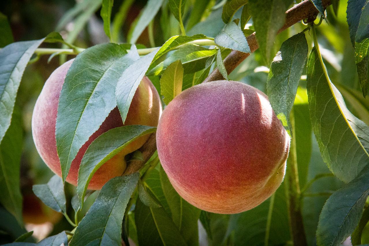 Sweet Dream White Peach