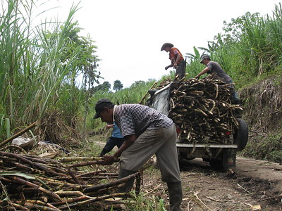 Sugarcane cutting in Colombia