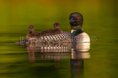 Common Loon with Chicks