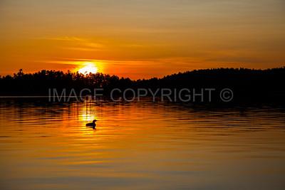 Common Loon Sunset