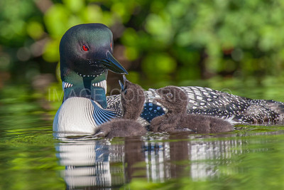 Common Loon and Hungry Chicks