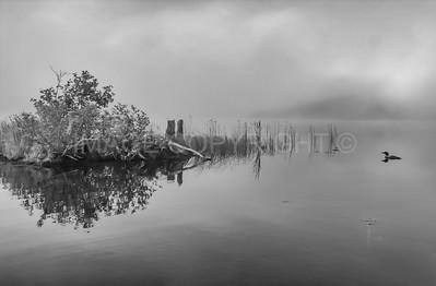 Loon on a Foggy Morning