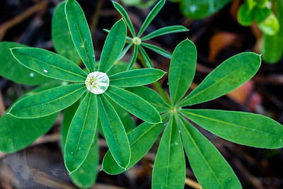 Lupine Leaf Rain-catcher