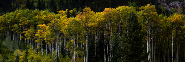 Hall Valley Aspens
