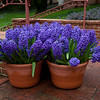 Lovely group of Hyacinths