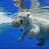 Polar Bear at the Detroit Zoo.