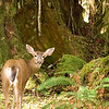 Young doe in the rainforest...Washington State