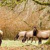 I talked to the man who owned this land and he was not thrilled to have this Elk herd climbing over the makeshift fence onto his property.Washington State,USA