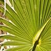 February 21, 2010<br /> <br /> Saw Palmetto Leaf...South Florida