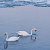 March 18, 2010<br /> <br /> Lake Swans enjoying the thaw...