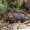 Sept 27, 2011<br /> <br /> Otter playing along the shore in Leeland, Michigan...