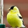 April 19, 2011<br /> <br /> American Goldfinch...on my backyard feeder.