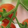 Macro Cherry tomatoes...August 19,2015