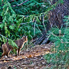 Oct 3, 2012<br /> <br /> Bobcat...taken in Yosemite National Park.  Sept 2012