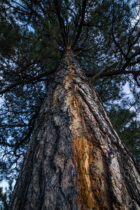 A recent lightning scar streaks down the bark of a Ponderosa Pine tree.