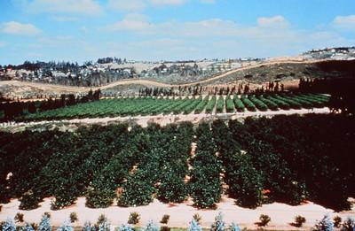 198X-XX-XX - TIC - Avocado orchard