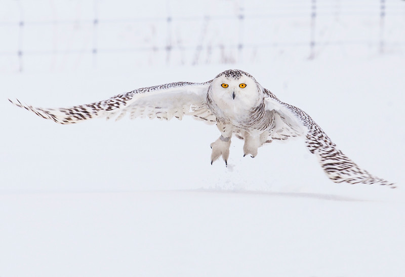 """Snowy Owl"" by Larry McCarthy"