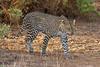 """""""Prowling Leopard"""" by Lakshman """"Lucky"""" Welegedera"""