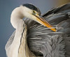 """Preening Heron"" by Kent Wiliams"