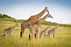 """Giraffe Herd"" by Lakshman ""Lucky"" Welegedera"