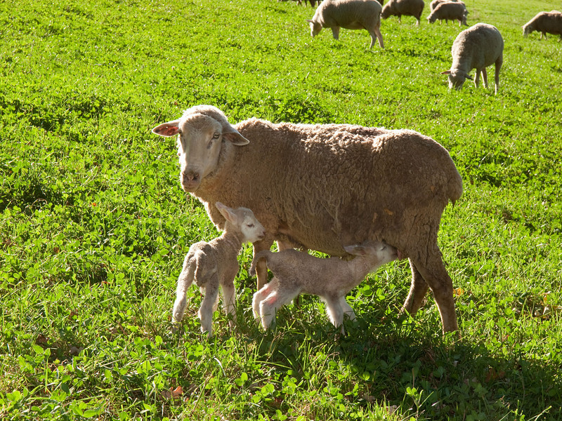 It doesn't take one lamb long to find the milk.  101013_2059