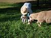 Mama ewe checks out her lambs as Dan puts them down in the pasture.  101013_2053