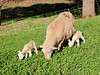 At one day old, the lambs are already eating grass and clover.  101013_2071