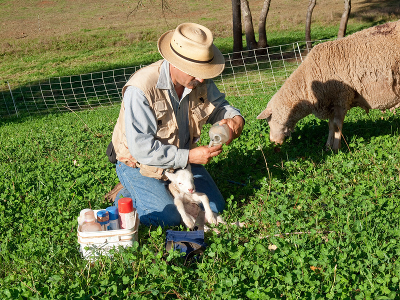 Each lamb is given a dose of selenium because that trace nutrient is deficient in foothills soil.  101013_2076