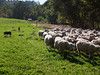 Dan says he couldn't manage his flock without the sheep dogs.  101013_1987