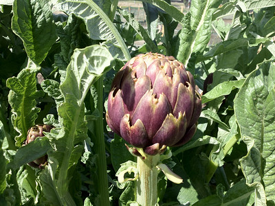 "Artichoke ""purple romagna"" Photo by Robert Granger"