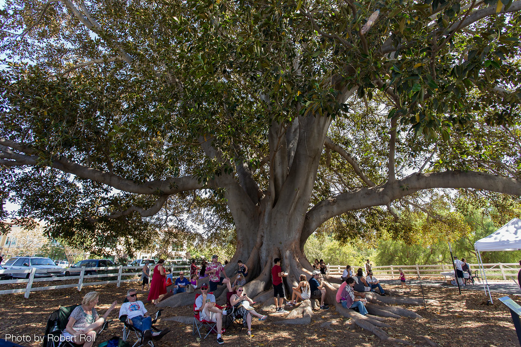 After liberal samplings of the best chili in Ventura County and perhaps a few cool beverages, visitors to the 2014 Camarillo Chili Cook-Off and Music Festival enjoy the breezy shade afforded by a hundred-year-old fig tree.