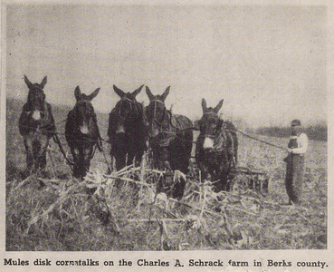 Charles Schrack using mules to disk cornstalks.