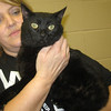Caspian – male domestic shorthair - extremely affectionate and loves to snuggle