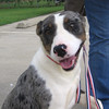 Shadow – female Catahoula – great with children and very loving
