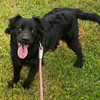 Taylor – female American water spaniel blend – gentle and a great family dog