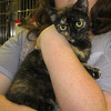 Heather – female tortoiseshell - inquisitive and adventurous