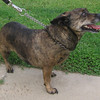 Polly Anna – female standard dachshund blend – great with kids and loves to roll over to have you rub her belly!