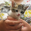 Patches – female calico kitten