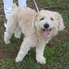 Sugar Daddy – male poodle blend – sweet and loving
