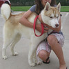 Timber – male Alaskan husky – gentle and great with children