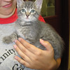 Frankie – male gray tabby kitten