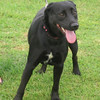 Sassy – female lab blend – extremely submissive and sweet